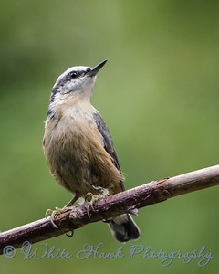2016-08-07 - Red-Breasted Nuthatch