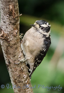 2016-08-20 - Downy Woodpecker