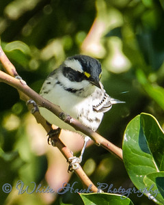 2016-08-04 - Black-throated Gray Warbler