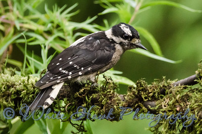 2016-08-08 - Hairy Woodpecker