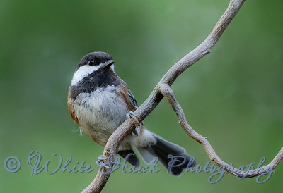 2016-08-14 - Chestnut -backed Chickadee