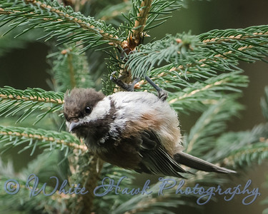 2016-08-09 - Chestnut - backed Chickadee