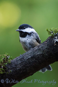 2016-08-11 - Black-capped Chickadee