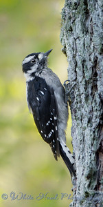 2016-08-18 - Hairy Woodpecker