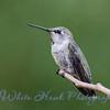 2016-08-19 - Anna's Hummingbird