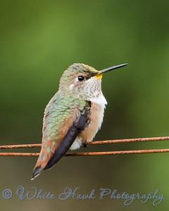 2016-08-03 - Rufous Hummingbird