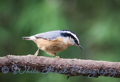 2016-12-14  -  Red Breasted Nuthatch