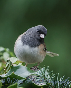 2016-12-15 - Dark-Eyed Junco