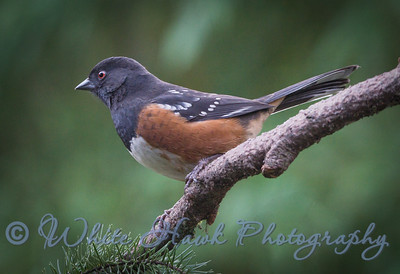 2016-12-21 - Spotted Towhee