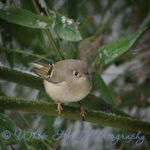 2016-12-09  Ruby-crowned Kinglet
