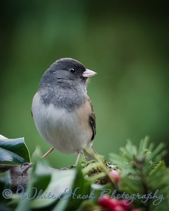 2016-12-08 - Dark-Eyed Junco