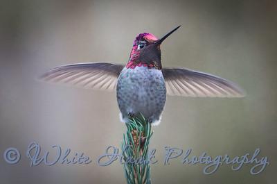 2016-12-04 - Anna's Hummingbird