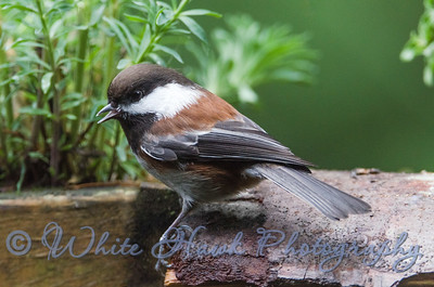 2016-12-11 - Chestnut -backed Chickadee