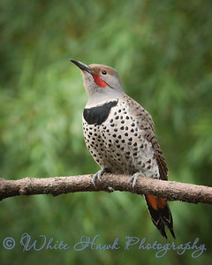 2016-12-16 - Northern Flicker