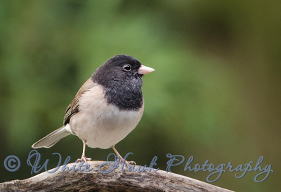 2016-02-13 - Dark-Eyed Junco, male
