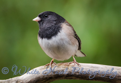 2016-02-03 - Dark-Eyed Junco, male