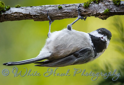 2016-02-08  -  Blackcapped Chickadee