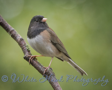 2016-02-12 - Dark-Eyed Junco, male