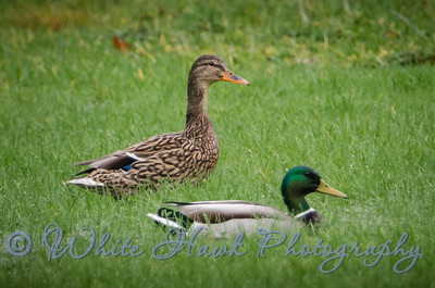 2016-02-14 - Mallard Ducks, male and female