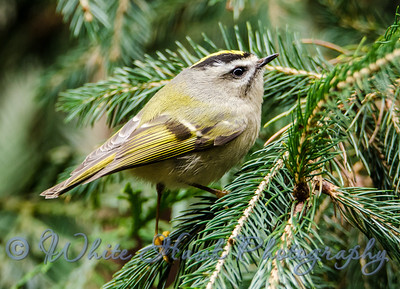 2016-02-06  -  Golden Crowned Kinglet