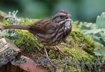 2016-02-09 - Song Sparrow.