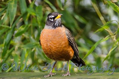 2016-02-16 - American Robin