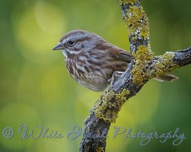 2016-02-23 - Song Sparrow