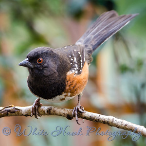 2016-01-29 - Spotted Towhee