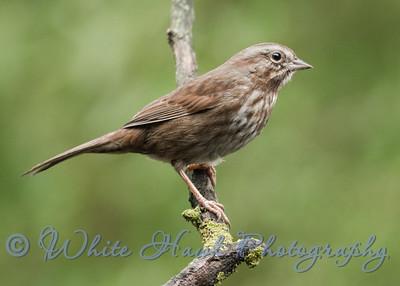 2016-01-27  -  Song Sparrow