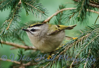 2016-01-31 - Golden Crowned Kinglet
