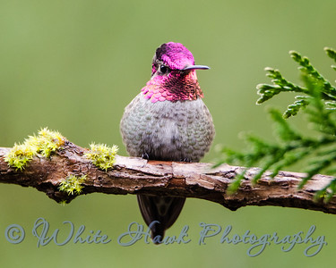 2016-01-13  -  Anna's Hummingbird, male