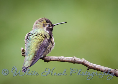 2016-01-22 - Anna's Hummingbird, male