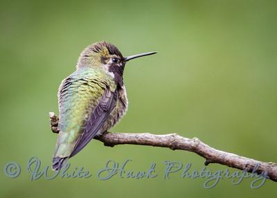 2016-01-22 - Anna's Hummingbird, male