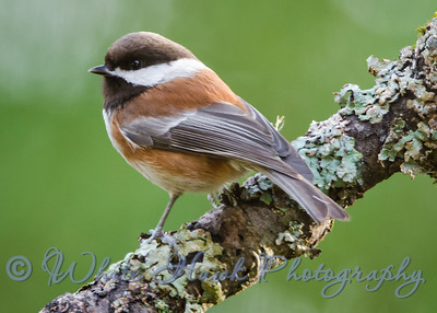 2016-01-14  - Chestnut - backed Chickadee
