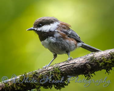 2016-07-06 - Chestnut - backed Chickadee