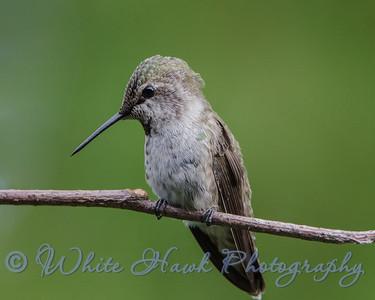 2016-07-01 - Anna's Hummingbird