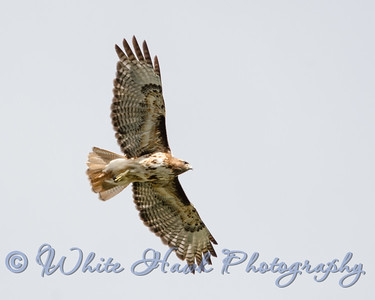2016-07-03 - Red-tailed Hawk