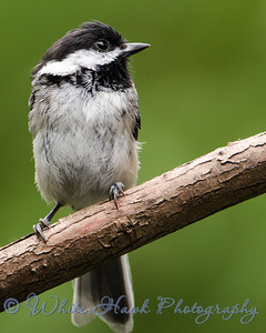 2016-07-16 - Black-capped Chickadee