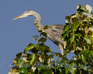 2016-07-13 - Great Blue Heron