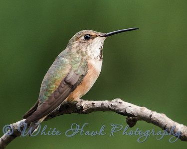 2016-07-14 - Rufous Hummingbird, female