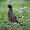 2016-07-04 - American Robin