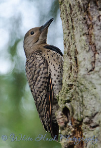 2016-07-15 - Northern Flicker