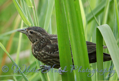 2016-07-20 - Red-winged Blackbird