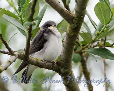 2016-07-05 - Eastern Kingbird - Juvenile