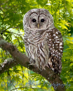 2016-07-17 - Barred Owl