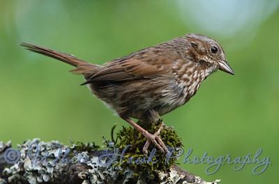 2016-07-19 - Song Sparrow