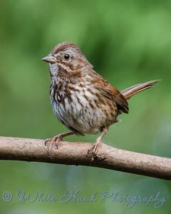 2016-07-12 - Song Sparrow