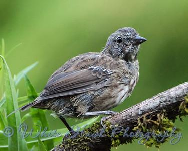 2016-07-29 - Song Sparrow