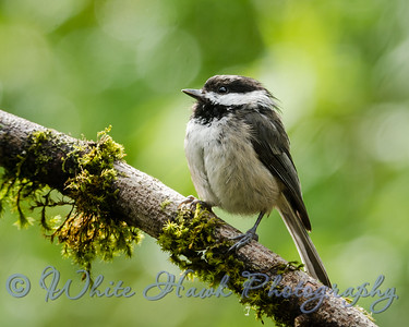 2016-07-08 - Black-capped Chickadee