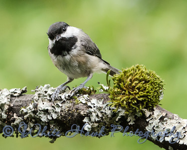 2016-07-18 - Black-capped Chickadee